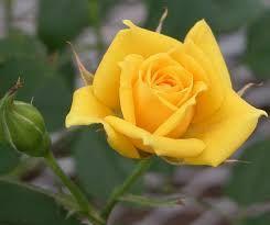 rosa_amarela_G