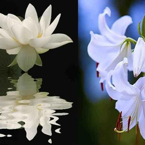 O LÓTUS  e o LÍRIO  – As flores da anunciação