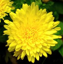 Image result for crisantemo amarelo